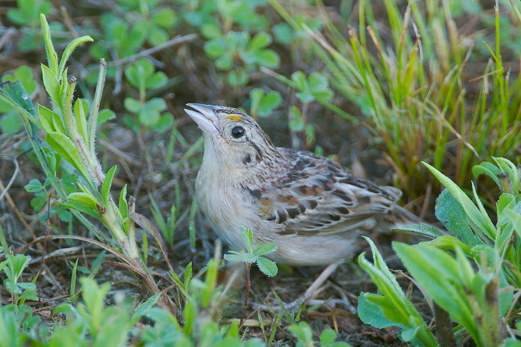 Grasshopper Sparrow (Ammodramus savannarum) and other grassland birds are at risk from high biofuel commodity prices.  Photo (c) Jeffrey A. Gordon