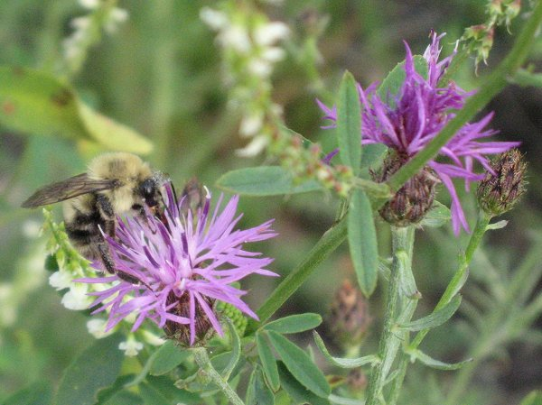 Spotted Knapweed is highly favored by bumblebees