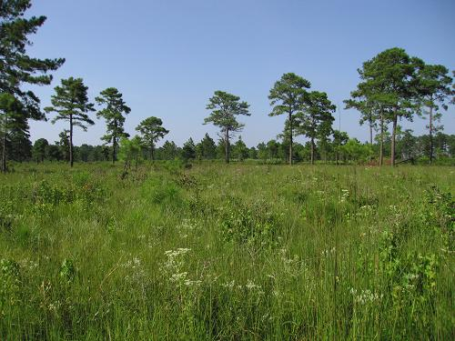 Pond Pine Savanna, Colleton County, SC