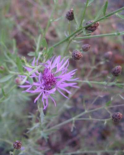 The pinkish violet blossom of spotted knapweed.
