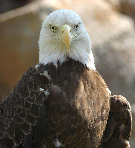 Adult Bald Eagle by Hart_Curt on Flickr (Used by Creative Commons Attribution 2.0 License)